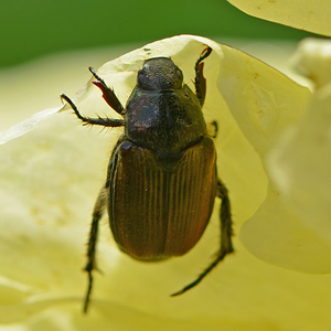 Dealing With Japanese Beetles Proven Winners