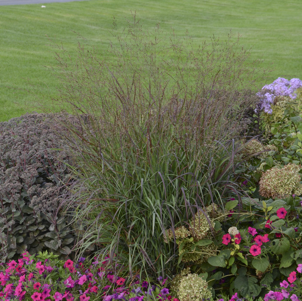 Caring For Ornamental Grasses Short Version Proven Winners
