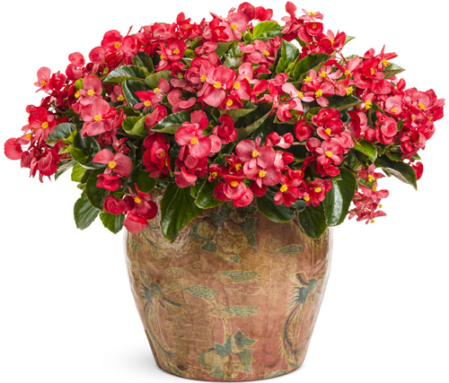 Overwintering Begonias Proven Winners