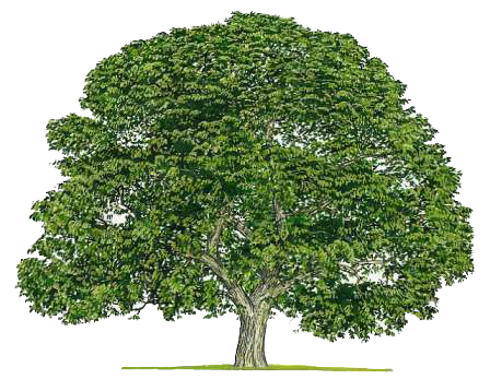 The Curse of the Black Walnut | Proven Winners