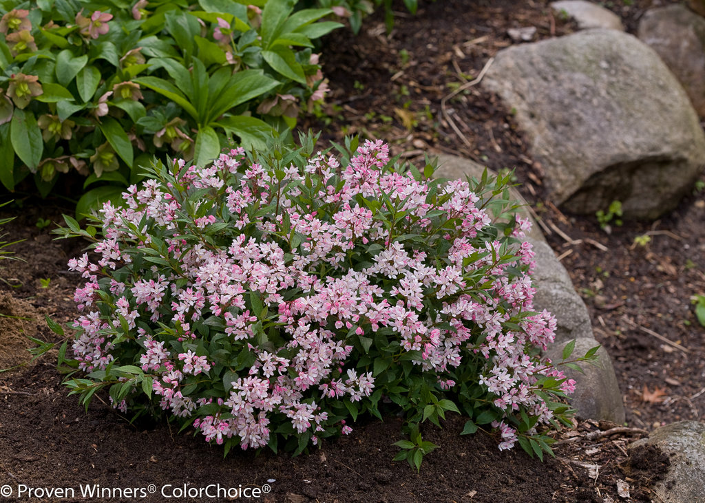 Spring Flowering Shrubs Proven Winners