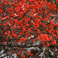 Winterberry Brightens Up The Winter Landscape Proven Winners