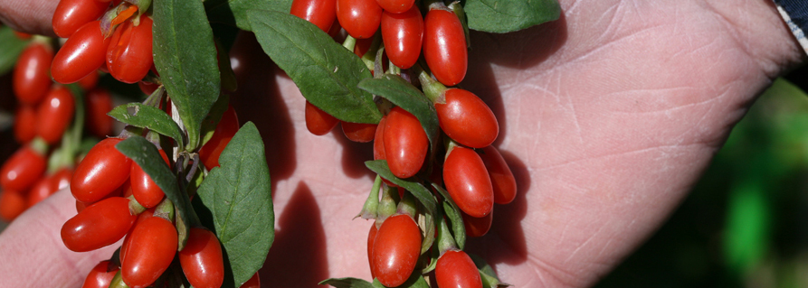 All About Lifeberry Goji Berries Lycium Barbarum Proven Winners