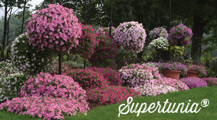 Succeeding With Supertunia Petunias Proven Winners