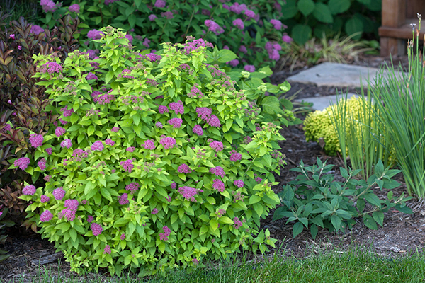 Shrubs For Easy Maintenance Landscapes