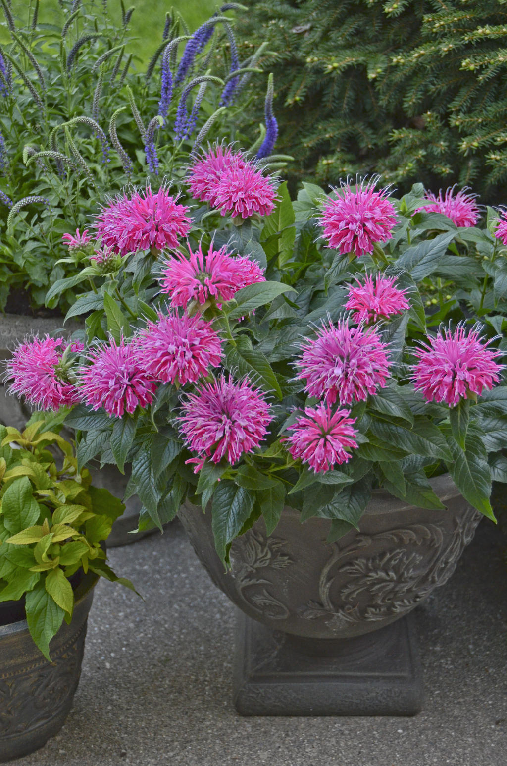Overwintering pretty potted perennials and shrubs proven winners pardon my pink monarda mightylinksfo