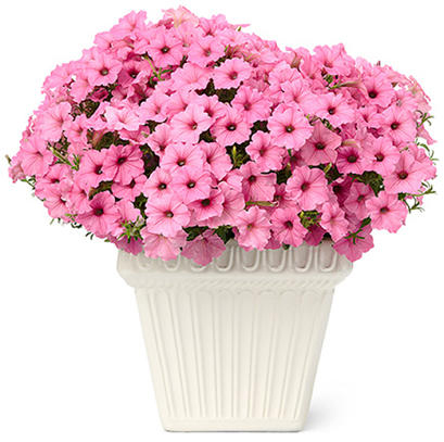 0fb1a831c81226 Top 50 Best Selling Annuals
