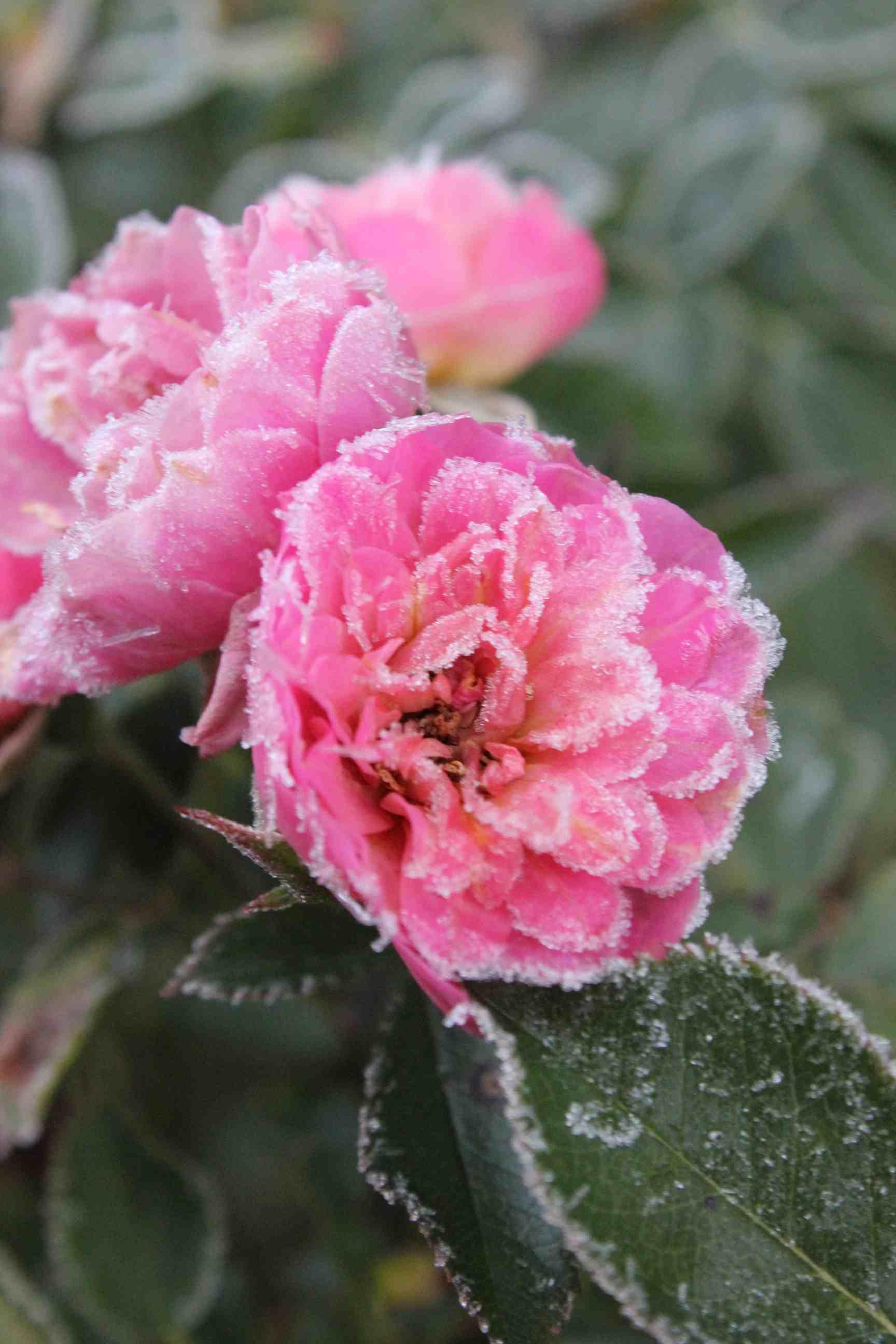 Winterizing Shrubs Proven Winners